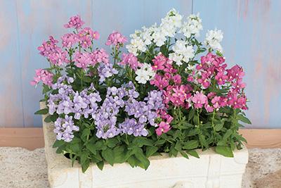 秋冬の花壇作りと花の育て方