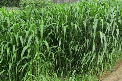 緑肥(ソルガム)の育て方と効果